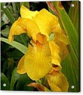 Yellow Iris Tasmania Australia Acrylic Print
