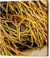 Yellow Kelp Acrylic Print