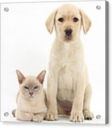 Yellow Lab And Burmese Cat Acrylic Print