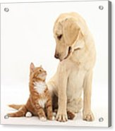 Yellow Lab And Ginger Kitten Acrylic Print