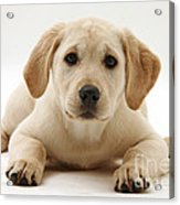 Yellow Lab Puppy Acrylic Print
