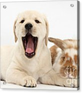 Yellow Lab Puppy With Rabbit Acrylic Print by Mark Taylor