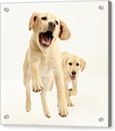 Yellow Labrador Pups Leaping And Running Acrylic Print