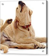 Yellow Labrador Scratching Acrylic Print by Jane Burton