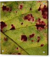 Yellow Leaf With Red Spots 2 Acrylic Print