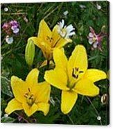 Yellow Lilies Acrylic Print