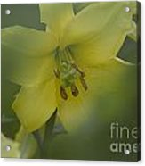 Yellow Lily Flower Acrylic Print