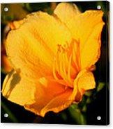 Yellow Lily2 Acrylic Print