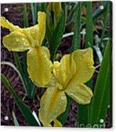 Yellow Louisiana Iris Acrylic Print