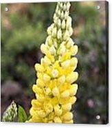 Yellow Lupine Acrylic Print