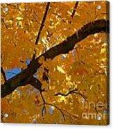 Yellow Maple Branch Acrylic Print