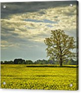 Yellow Meadow Acrylic Print