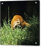 Yellow Mongoose Acrylic Print