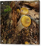 Yellow Mushrooms Acrylic Print