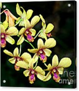 Yellow Orchid Cascade Acrylic Print