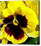 Yellow Pansey Acrylic Print