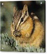 Yellow Pine Chipmunk, Kananaskis Acrylic Print