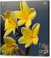 Yellow Pinwheels Acrylic Print