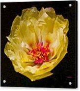 Yellow Portulaca Acrylic Print by Mitch Shindelbower