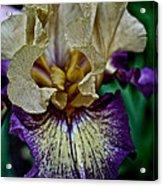 Yellow  Purple Iris Acrylic Print