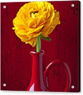 Yellow Ranunculus In Red Pitcher Acrylic Print