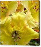Yellow Rhododendron Trio Acrylic Print