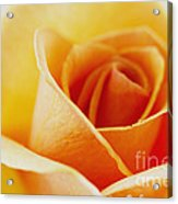 Yellow Rose After The Rain Acrylic Print