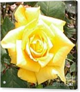 Yellow Rose At High Noon Acrylic Print by Alys Caviness-Gober