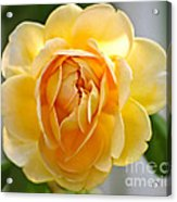 Yellow Rose Blooming Acrylic Print