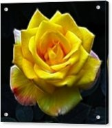 Yellow Rose In The Moonlight Acrylic Print