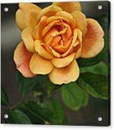 Yellow Rose Of Baden Acrylic Print
