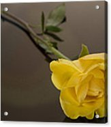 Yellow Rose Of Friendship Acrylic Print