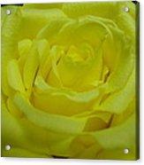 Yellow Rose Of Texas Acrylic Print