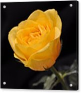 Yellow Rose On Black Background Acrylic Print by Déco'Style Balexia87