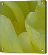 Yellow Rose Petals  Acrylic Print