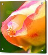 Yellow Rose Tipped In Pink Acrylic Print