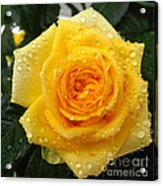 Yellow Rose With Water Droplets Acrylic Print