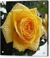 Yellow Roses With Water Droplets Acrylic Print