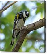 Yellow Rumped Warbler Looking Down Acrylic Print
