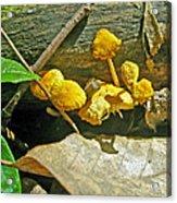 Yellow Sandpaper Mushrooms Acrylic Print