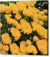 Yellow Sea Of Flowers Acrylic Print