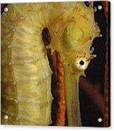 Yellow Seahorse, Batam, Riau, Indonesia Acrylic Print