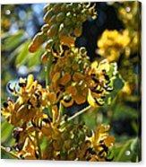 Yellow Senna Acrylic Print