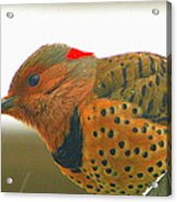 Yellow Shafted Flicker Acrylic Print
