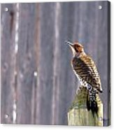 Yellow-shafted Flicker Posing Acrylic Print