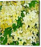 Yellow Shower Tree - 1 Acrylic Print
