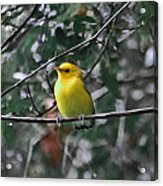 Yellow Songbird Acrylic Print