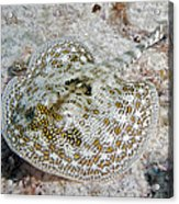 Yellow Stingray In Caribbean Sea Acrylic Print