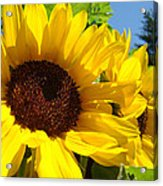 Yellow Sunflowers Art Prints Summer Sunflower Acrylic Print
