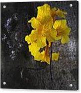 Yellow Trumpet Acrylic Print